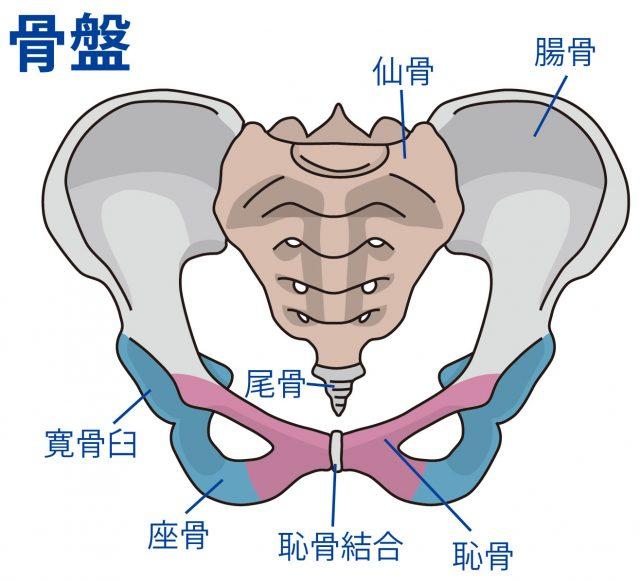 仙骨や尾骨を中心に形成された骨の集合体が骨盤です