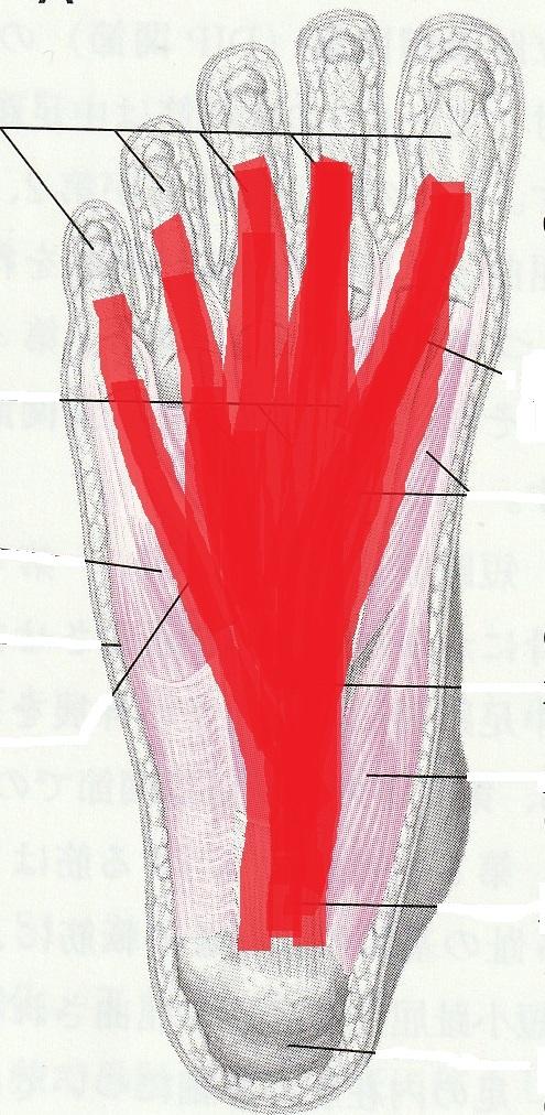 足裏のネット 足底腱膜